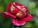 imaginile-Wallpapere-1280-960-pozele-imagini-de-fundal-Flori-gratuite-fotografie-Ni326540